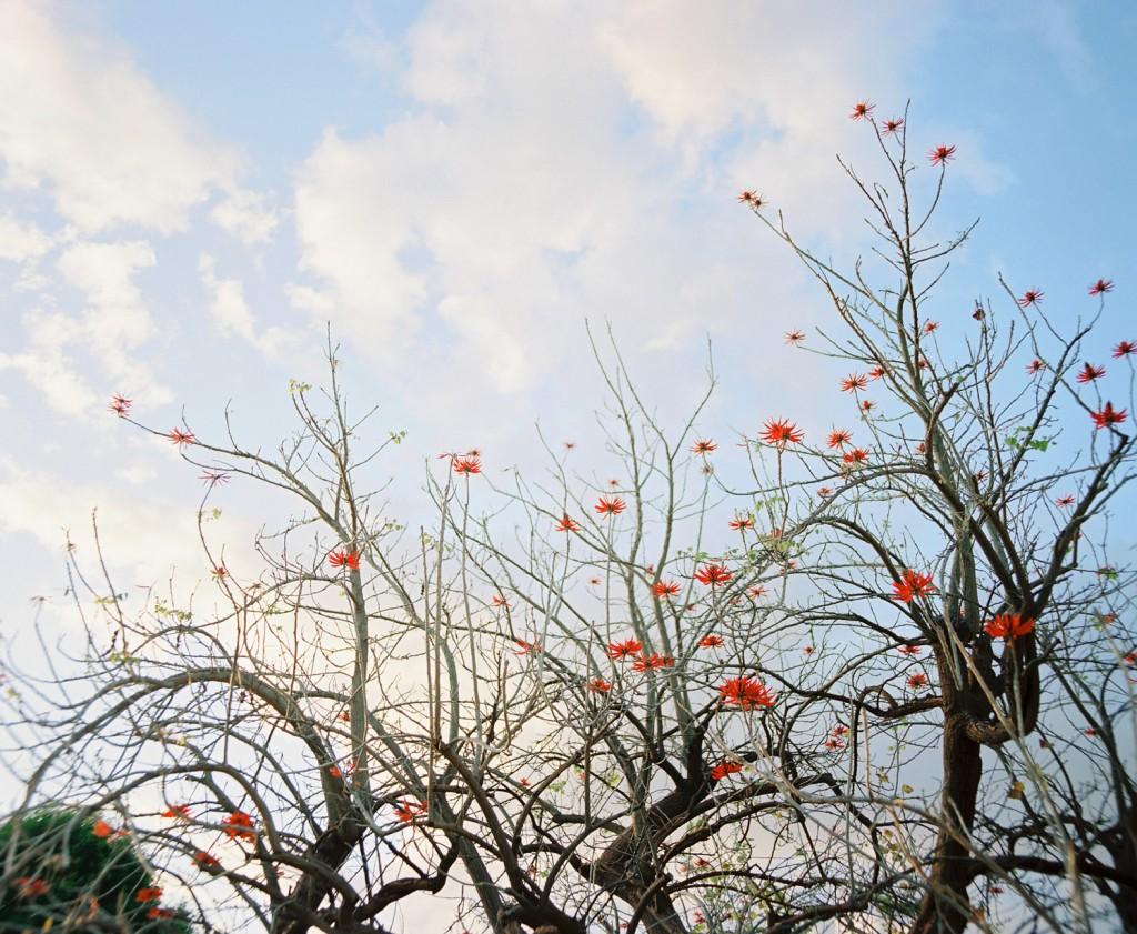 erythrina_coraloides